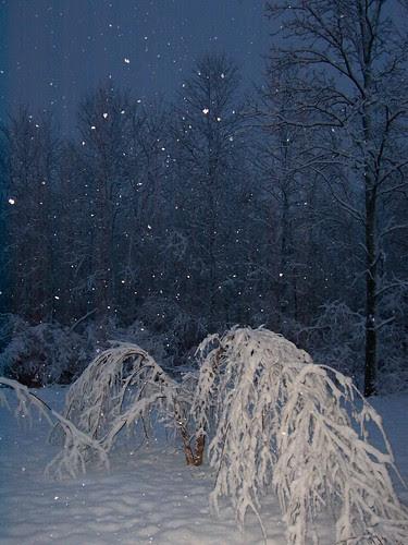 River birch at dawn