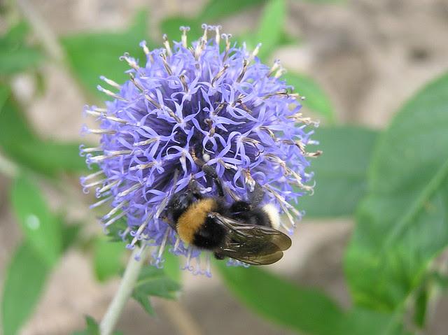 Bumblebee, Bombus bohemicus