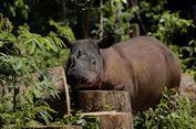 Kisah Badak Sumatera Berjuang dari Kepunahan Selama 10.000 Tah   un