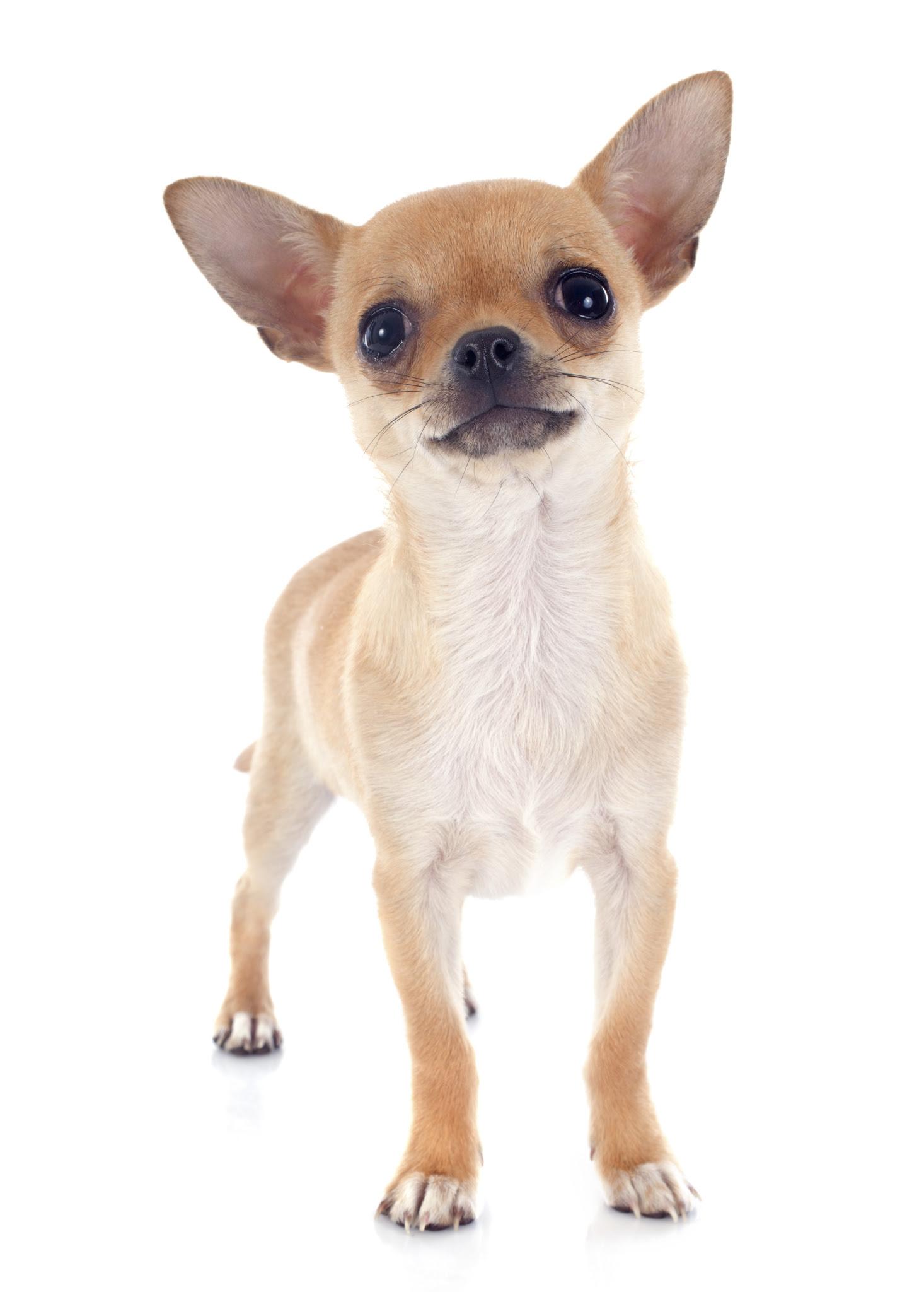 Cada Cuando Bañar A Un Perro Chihuahua Noticias Del Perro