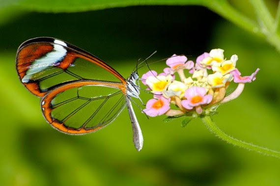 الفراشة الزجاجيه الشفافه فراشة الزجاج Greta oto بالصور 432916.jpg