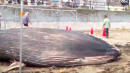 Beachgoers Stunned After Dead Baby Blue Whale Washes Up On Japan Shores