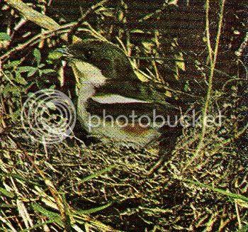 Pg14-6, FISCAL SHRIKE (Butcher Bird)