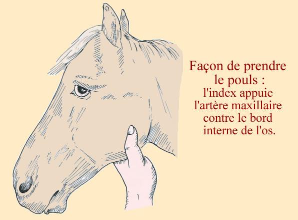 Comment prendre le pouls d'un cheval pour connaitre sa fréquence cardiaque.
