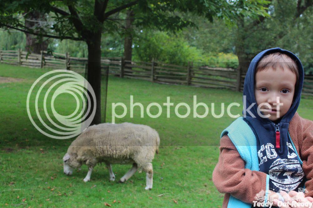 Centreville Zoo Sheep