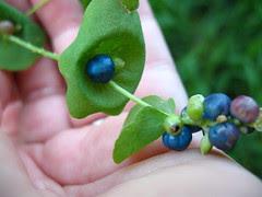 Mile-a-Minute weed, Polygonum perfoliatum / Persicaria perfoliata, Polygonaceae by Vilseskogen