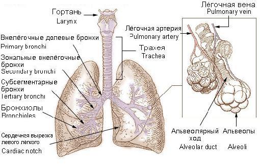 bronchial tree 2