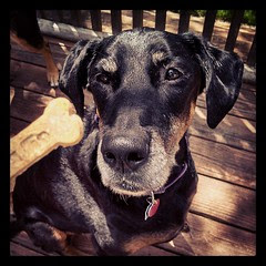 Lola's got her eyes on the prize...a #CaseyJonesBones #peanutbutterbanana treat #dogstagram #dobermanmix