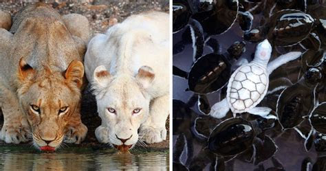 albino animals  dont  color   cool