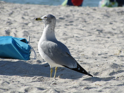 IMG_7220_Hungry_Seagull_Awaiting_His_Chance