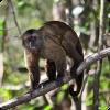 Какой репеллент от комаров используют южноамериканские обезьяны-капуцины?