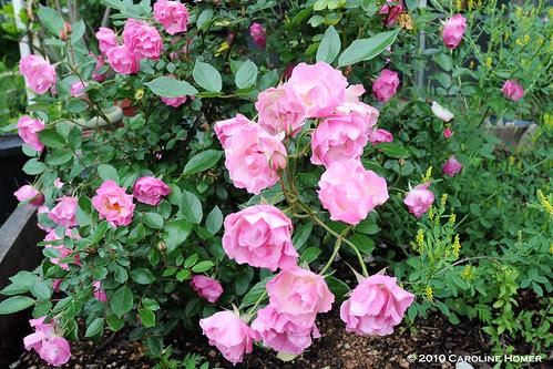 'La Marne' rose