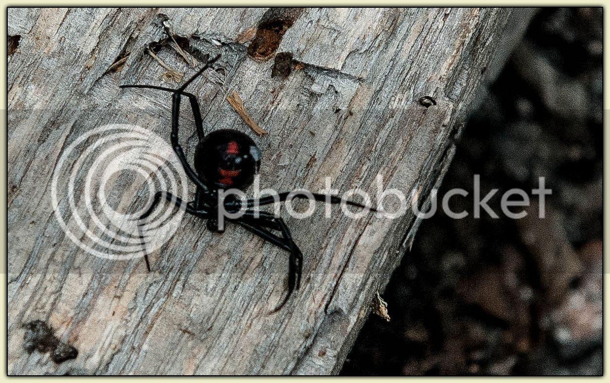 Black Widow underside