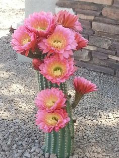 Cactus blooms in Tucson, Arizona