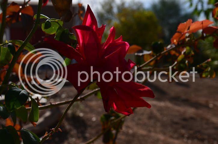 Fading rose photo Moodyrose_zpsae74ec31.jpg