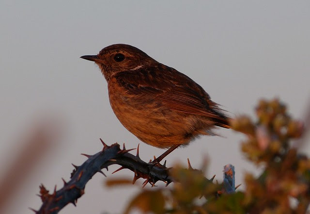 27610 - Stonechat at Sunset, Gower