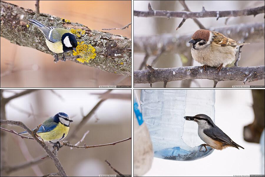 За птичками