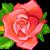 :iconrose4plz: