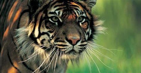 gambar harimau jawa gambar keren  unik wallpaper