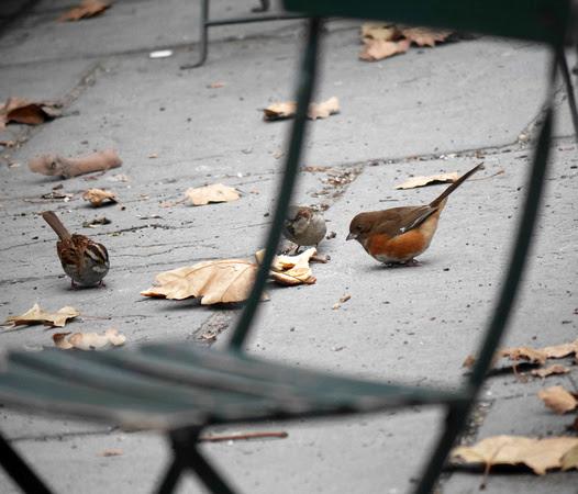 Ed Gaillard: birds &emdash; Eastern Towhee, Bryant Park
