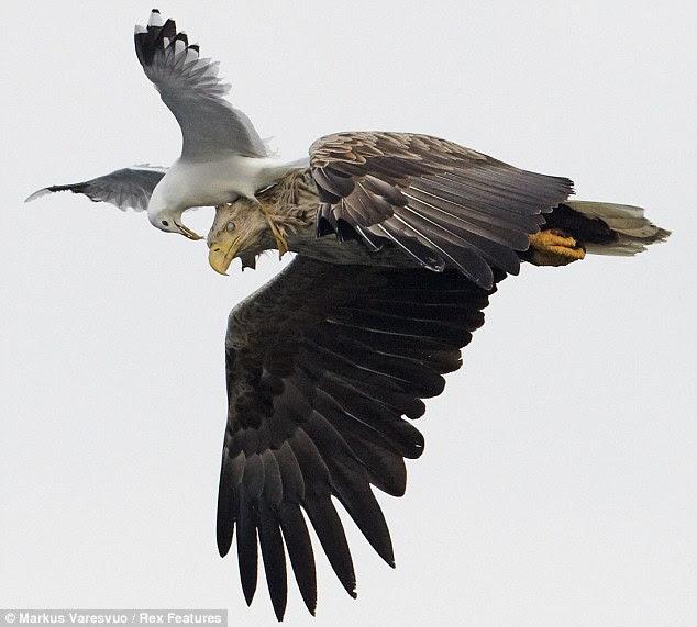 Gambar Menakjubkan Burung Camar Berduel Dengan Seekor Elang