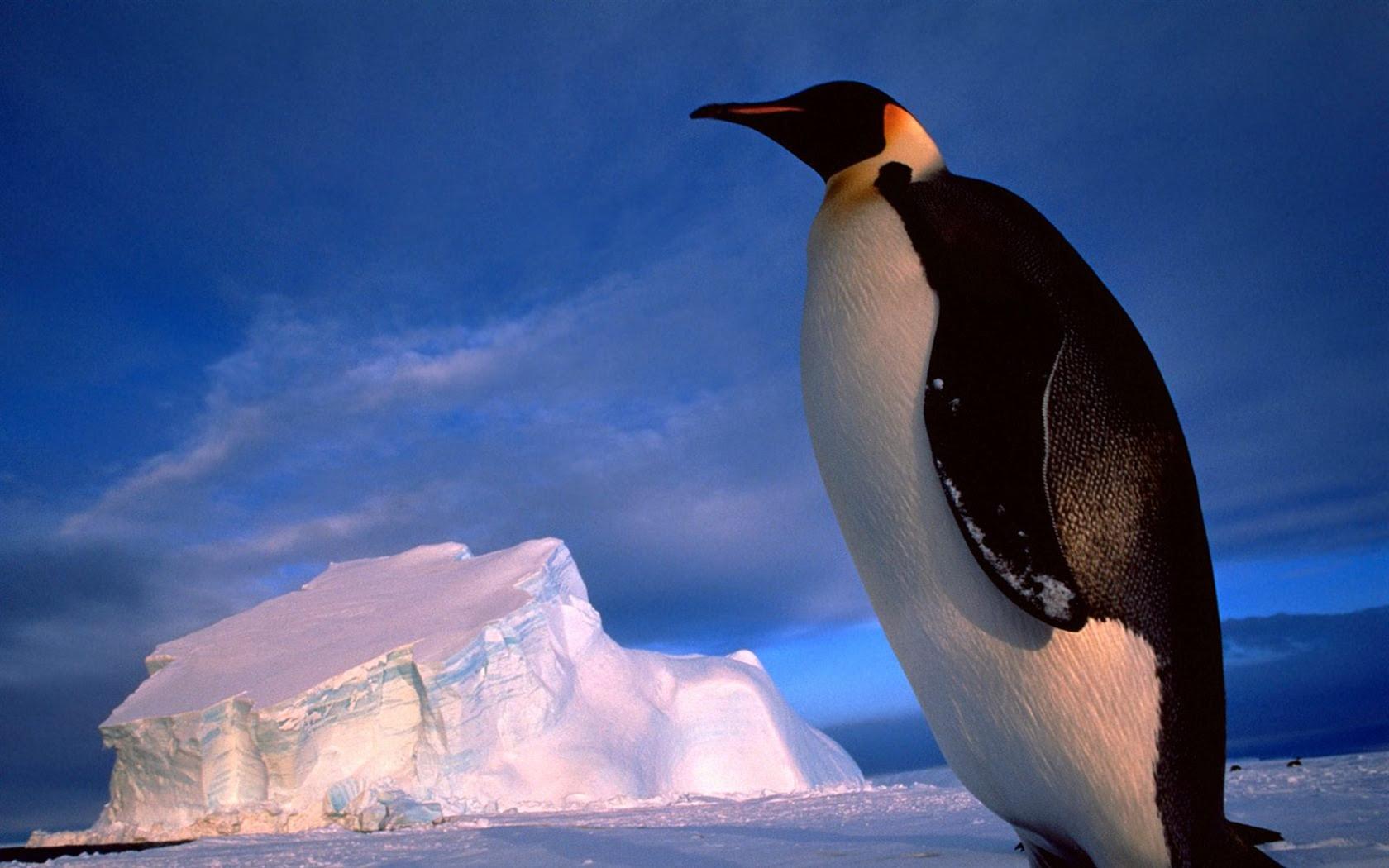 ペンギン写真の壁紙 12 1680x1050 壁紙ダウンロード ペンギン写真