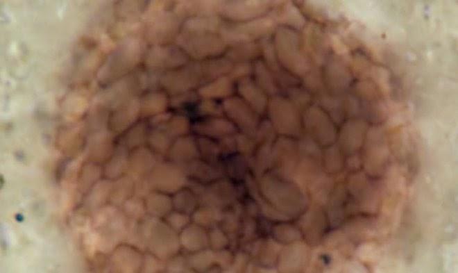 Это странное создание – древнейшее известное многоклеточное существо возрастом в миллиард лет