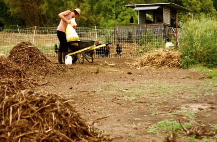 ground cleared by chickens