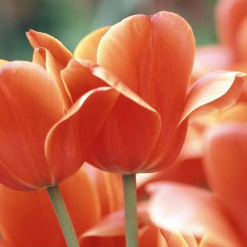 Tulip, Darwin hybrids