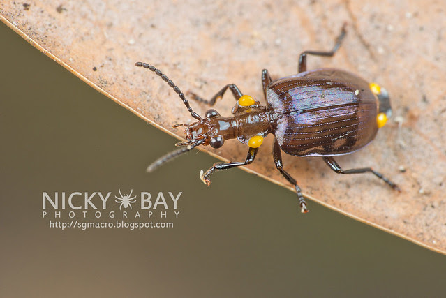 Ground Beetle (Carabidae) - DSC_8468