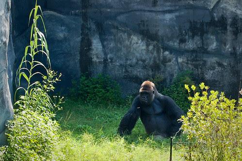 090510_gorilla.jpg