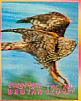 Northern Goshawk Accipiter gentilis