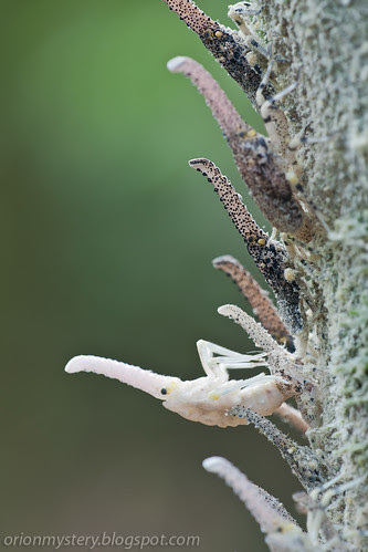 Zanna terminalis nymph molting IMG_5380 copy