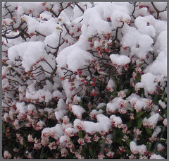 20 daphne blossoms