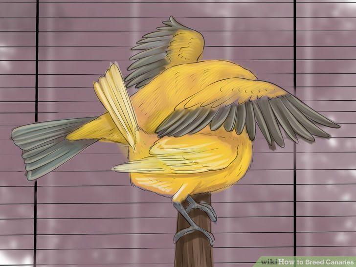 Breed Canaries Step 8 Version 2.jpg