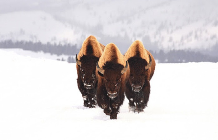 bullbison-animal-photography (700x451, 49Kb)