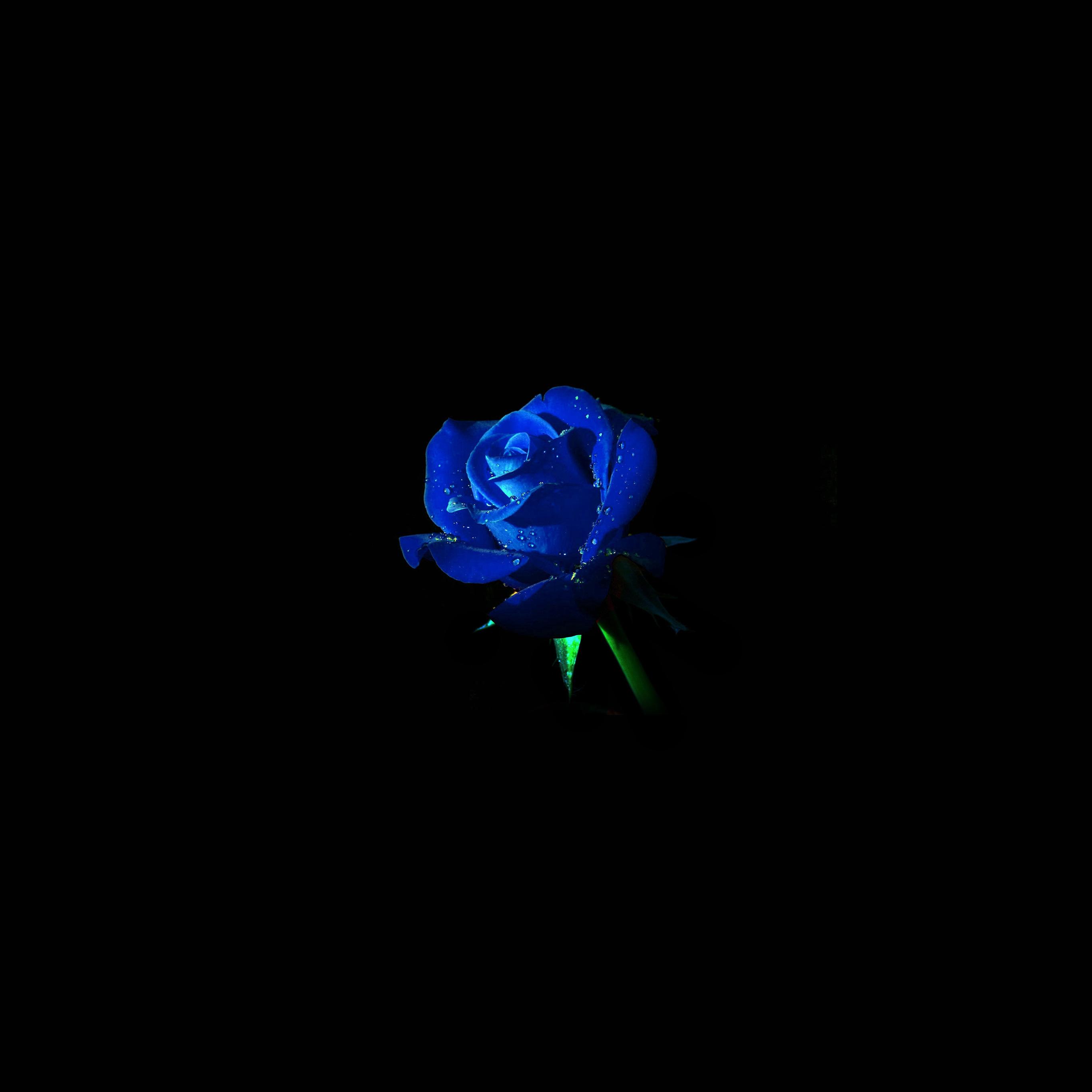 Unduh 2000+ Wallpaper Android Rose HD Terbaru