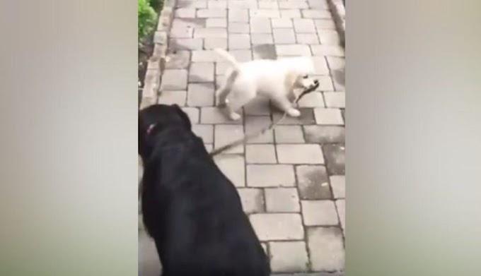 El divertido momento en que un pequeñín pretende llevar a su enorme compañero canino de paseo