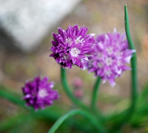 chive blossom 3