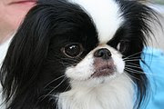 Japanese Chin Famous Small Dogs