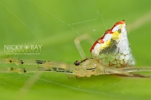 Mirror Spider (Thwaitesia sp.) - DSC_9975