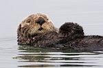 Sea-otter-morro-bay 13.jpg