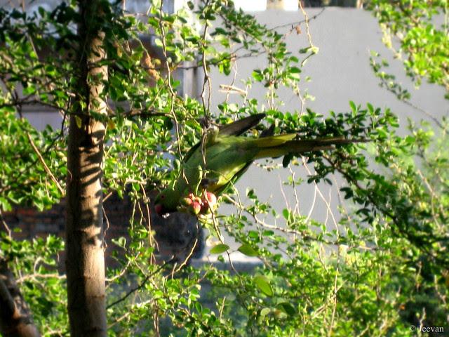 Parrot nibble on Camachile (fruit)