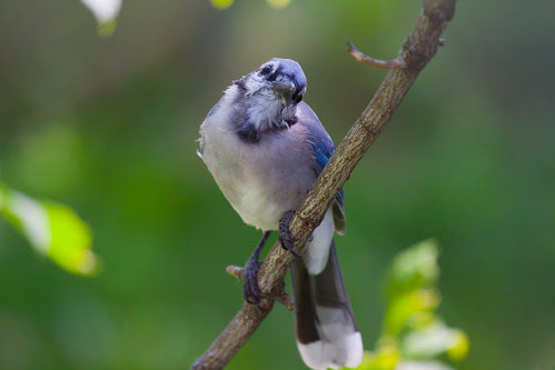 Blue Jay near my window
