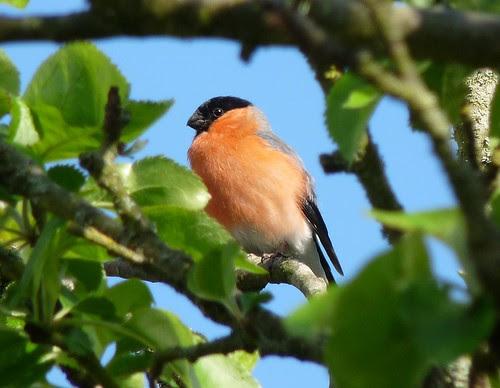 12456 - Bullfinch