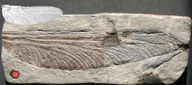 Fóssil de insetos gigantes pré-históricos (Foto: Wolfgang Zessin/UCSC/Divulgação)