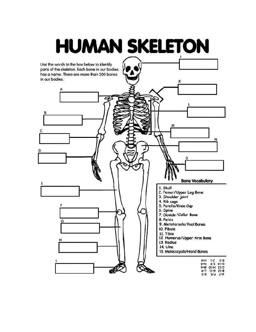 20 Label The Skeleton Worksheet   Labels Database 20