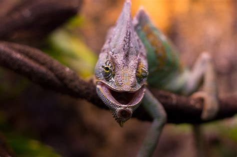 How Much Does a Chameleon Cost?   HowMuchIsIt.org