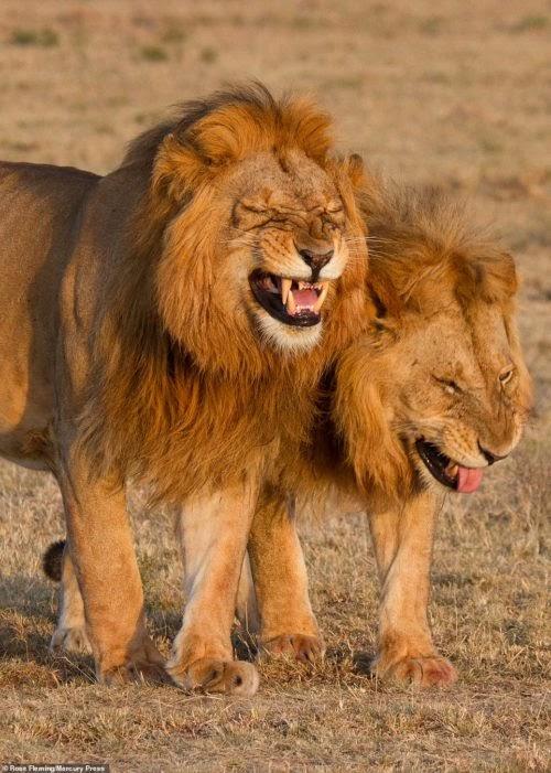 """Un par de leones son sorprendidos """"rugiendo a carcajadas"""" y nadie puede parar de reír con ellos"""
