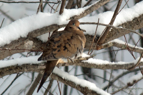 Mourning dove (39 of 44).jpg